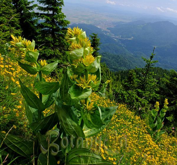 great yellow gentian yellow gentian 1000 seeds Gentiana lutea bitter root