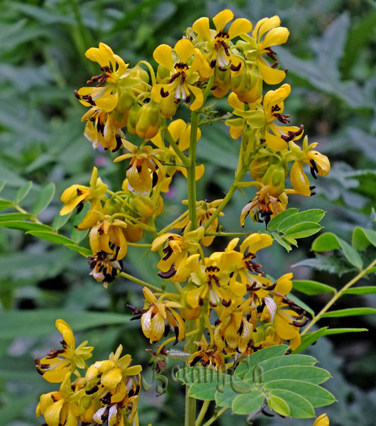Prairie Moon Nursery :: Seeds :: Senna marilandica (Maryland Senna)