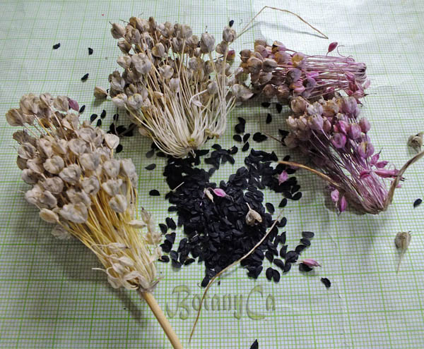 Allium Fireworks Botanically Inclined Seed Adventures